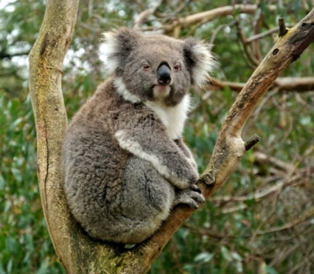 Koala (Victoria. Australia)
