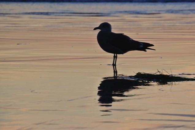 Seagull (CA, USA)