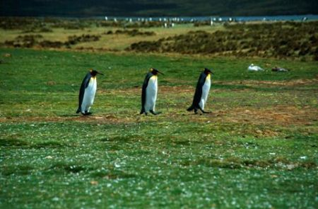 King Penguins (Falkland Islands)