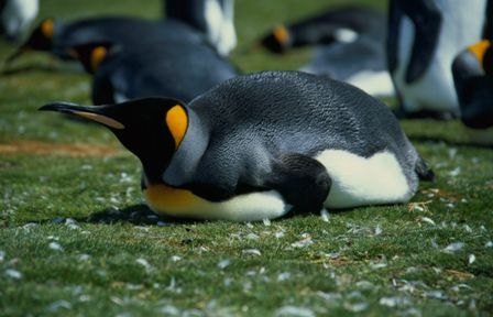 King Penguin (Falkland Islands)