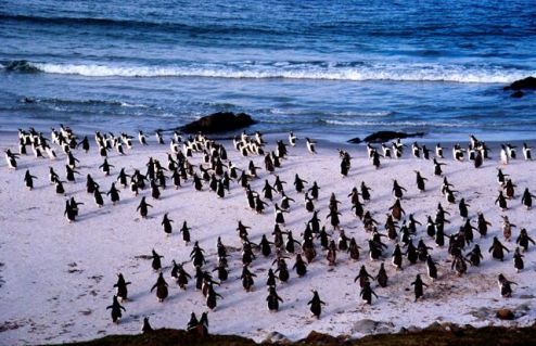 Gentoos (Falkland Islands)
