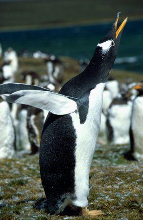 Gentoo (Falkland Islands)