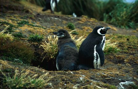 Magellanic Penguins (Falkland Islands)
