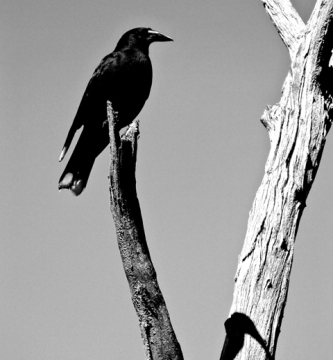 Black Currawong (Tasmania, Australia)