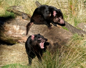 Tasmanian Devil (Tasmania, Australia)