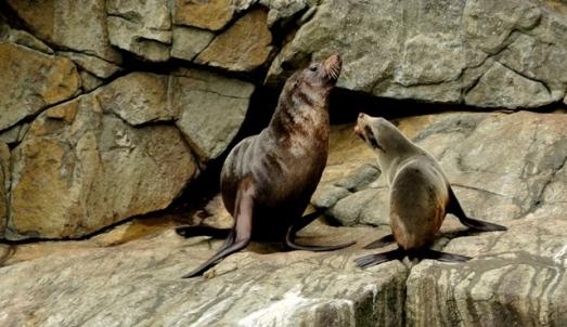 Southern Sealion (Tasmania, Australia)