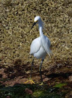 Snowy Egret (San Diego, CA)