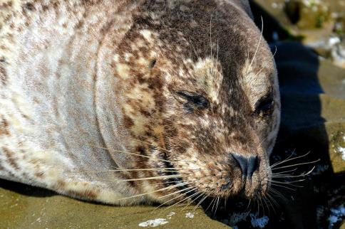 Harbor Seals (San Diego, CA)