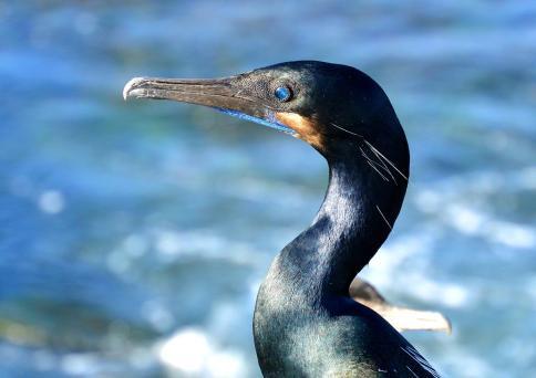 Brandt's Cormorant (San Diego,CA)