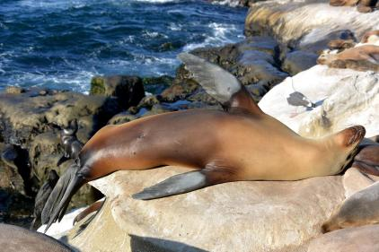 Northern Sealion (San Diego, CA)