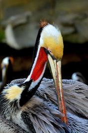 Pelicans (San Diego,CA)