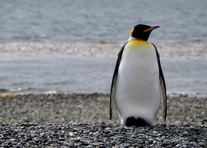 King Penguins (Argentina)