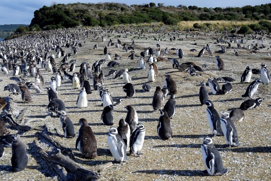 Magellanic Penguins (Argentina)